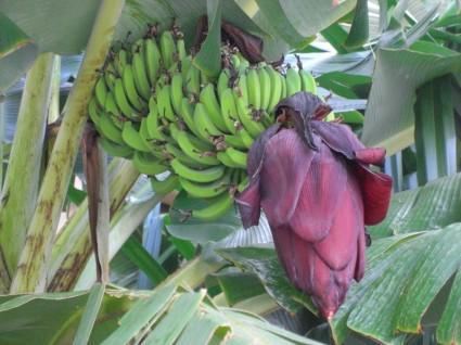 banana_tree_199078